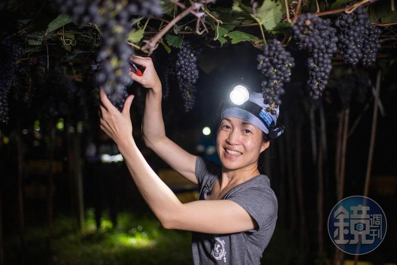 「威石東酒莊」執行長楊仁亞堅持以夜間採收維持葡萄品質。