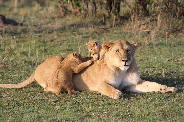 母獅因小獅子先前攻擊並玩弄鬣狗幼犬屍體,而被鬣狗撂來的同伴攻擊。(示意圖,PickPik)