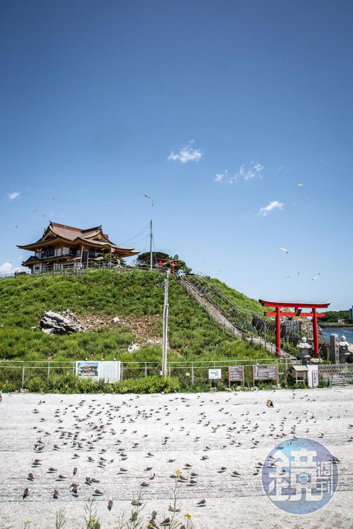 適逢產卵季,蕪嶋神社幾乎被黑尾鷗包圍。