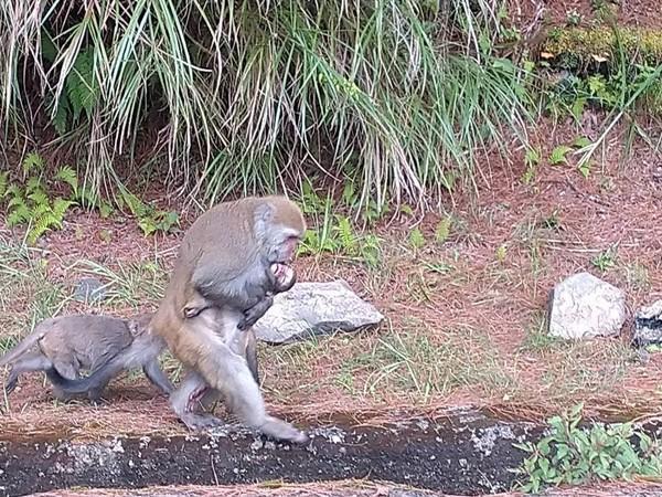 除了苗栗石虎遭路殺外,玉山國家公園塔塔加遊憩區遊,21日石山地區也有台灣小獼猴遭路殺身亡一事。(玉山國家公園管理處提供)
