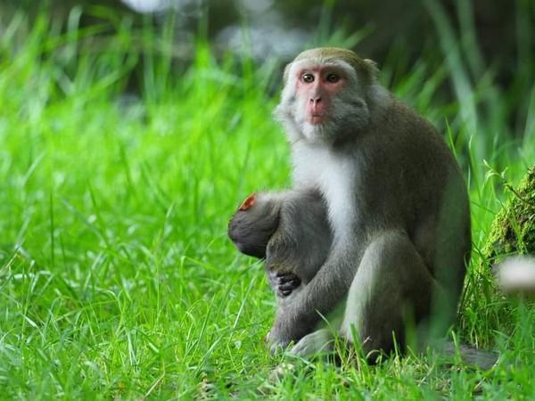 喪子母猴抱著小猴屍5天4夜,畫面令人不捨。(玉山國家公園管理處提供)