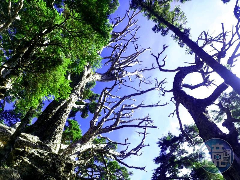 藝術品般的樹木,是森林中的魔法景象。