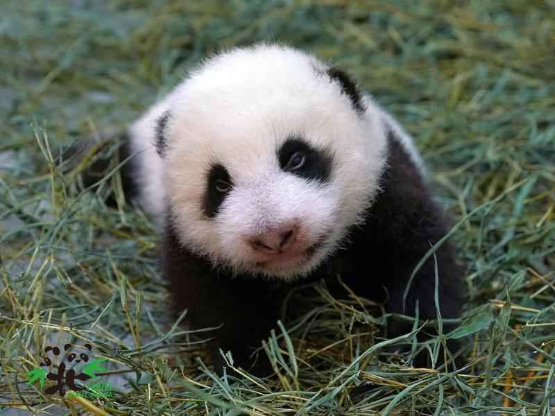 台北動物園團隊第2次照顧大貓熊寶寶,保育員也分享,這次照顧「圓寶」有種很不真實的感覺。(台北市立動物園提供)