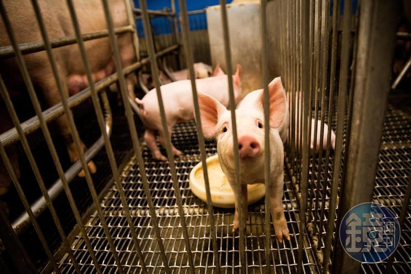 美豬美牛明年起將鬆綁進口,謝金河認為,此時此刻「是國產養豬戶全面升級的關鍵時刻」。(本刊資料照)