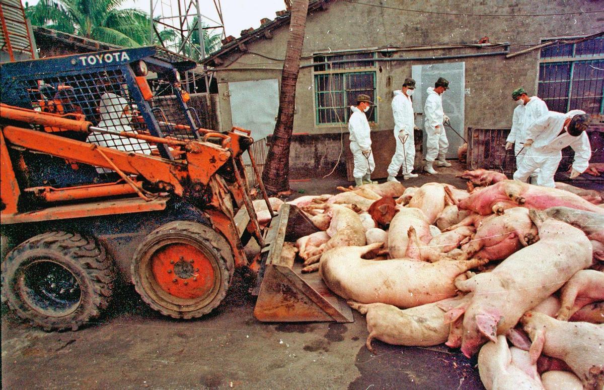 我國政府過去只要觸及開放美豬議題,就會引發大規模豬農抗爭。(達志影像)