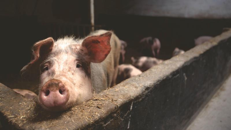 明年元旦起台灣將開放含萊克多巴胺的豬肉進口,引發許多國人擔憂,健康恐受到威脅。(圖片取自pexels)