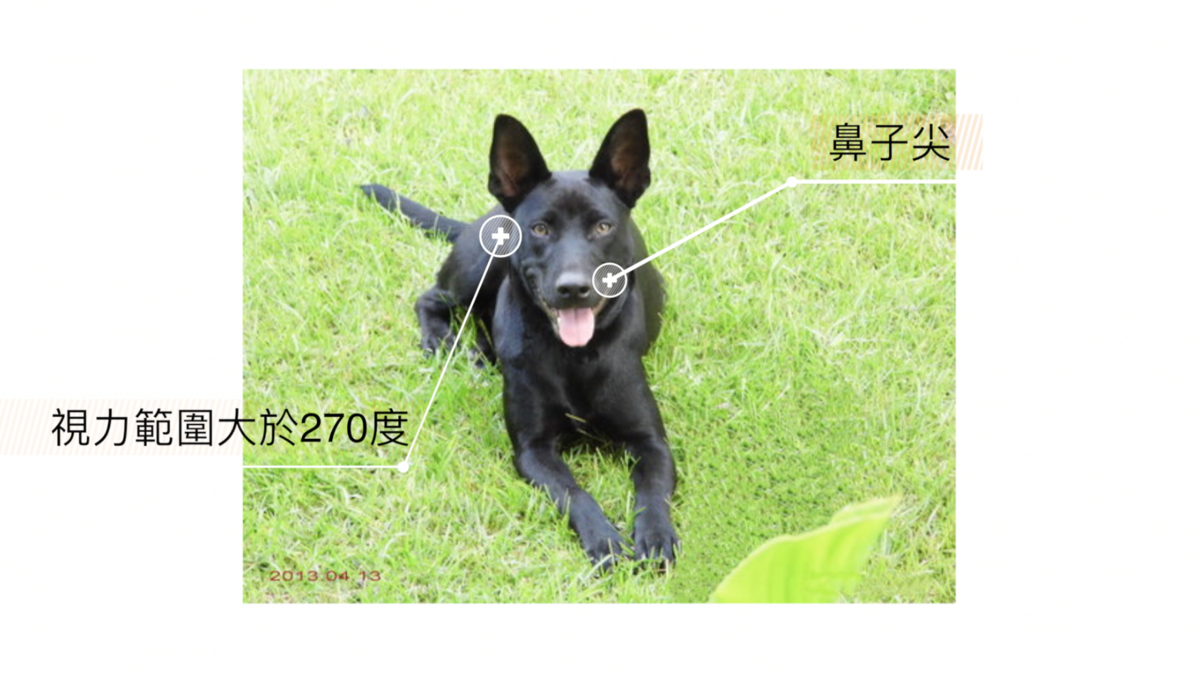 「熊爸」解釋,台灣土狗、米克斯都屬視覺系的獵犬,特色是狗鼻子比較尖,眼睛可看到的角度超過270度,非常敏感。