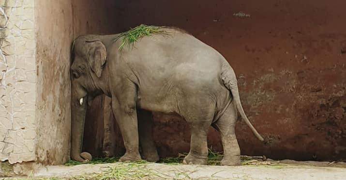 巴基斯坦一頭名叫卡凡的大象,被稱為世界上最孤獨的大象。(翻攝自Free Kaavan the Elephant粉絲專頁)