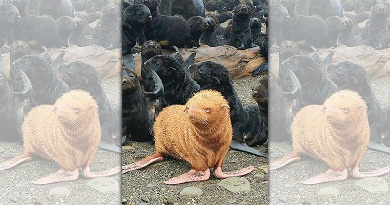 生物學家在一片黑壓壓的海狗中,發現1隻變異的「黃金海狗」。(翻攝自bigdaddivladi IG)