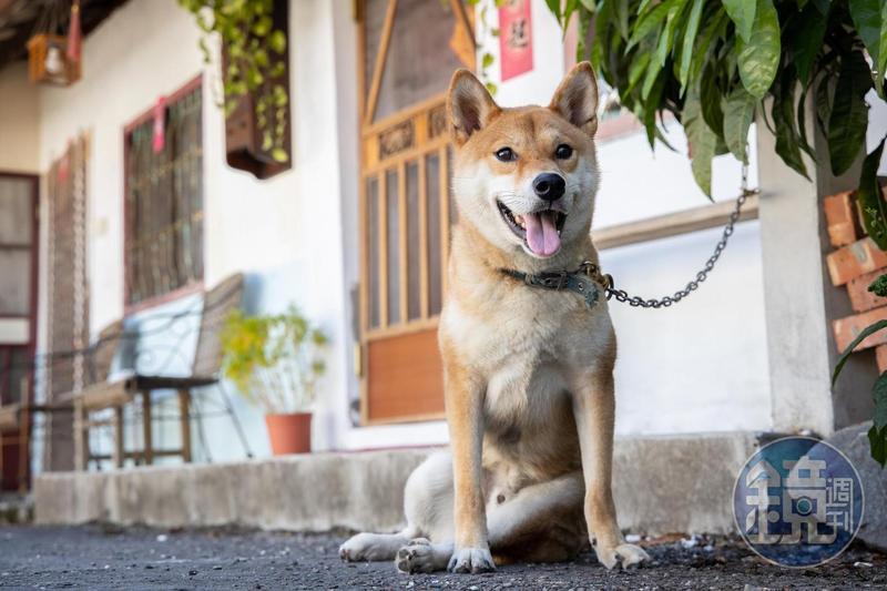 「屾植人心」的可愛店狗,是主人從獸醫院收養回來。