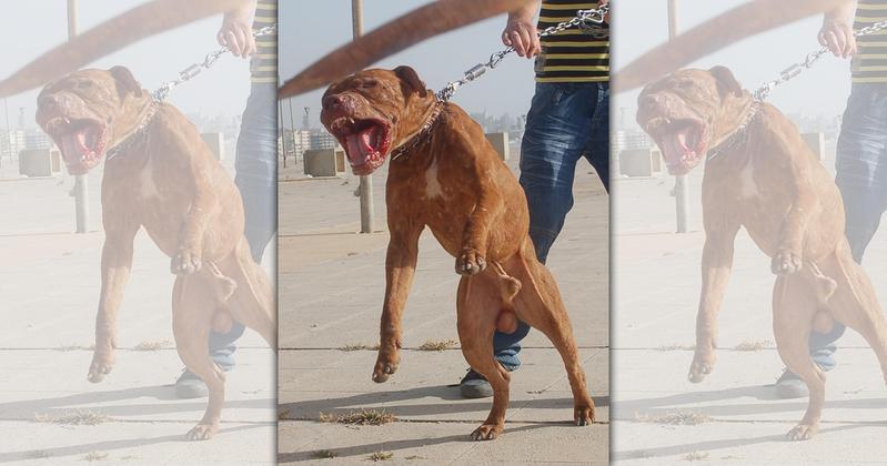 比特犬長期以來被培育用於鬥犬行為,為國際間最被普遍立法規範管制之具危險性之犬種。(翻攝自網路)