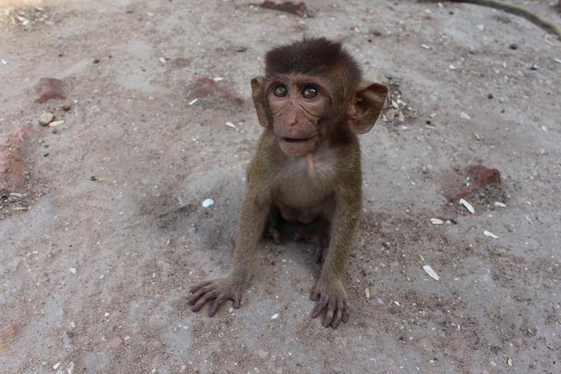 泰國中部的華府里因有大量的半野生猴子,使其有「猴城」的別名。(翻攝自Pixabay/Nadezhda Andonova)
