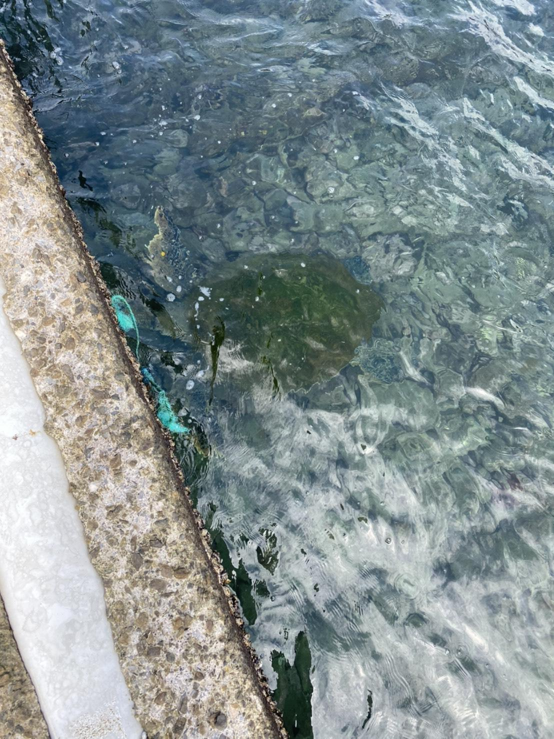 受困海龜已於昨日自行游出脫困。(翻攝自新北市動保處官網)