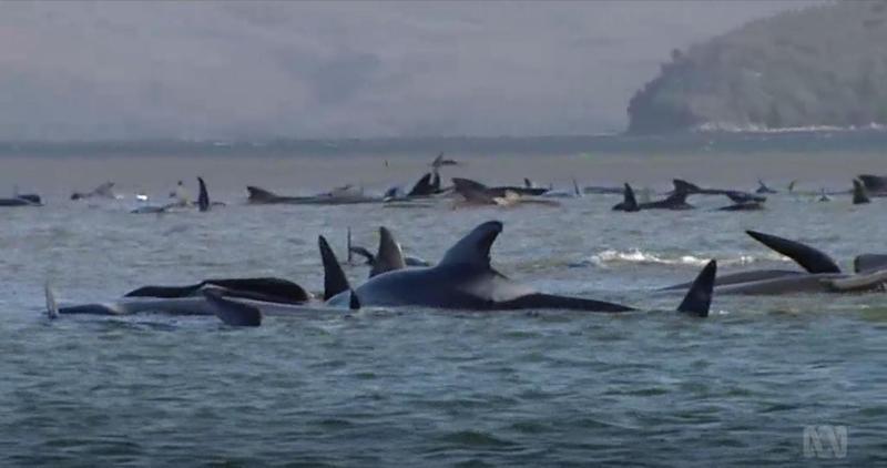 澳洲塔斯馬尼亞州西海岸有約270頭領航鯨集體擱淺,海洋保育學家及救援團隊展開數天的行動。(翻攝自ABC News臉書影片)