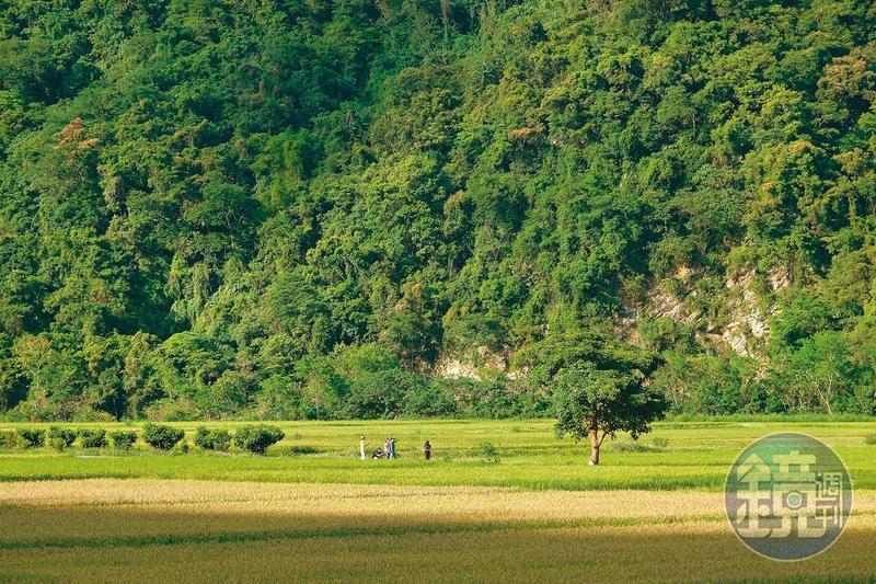 南安遊客中心旁的綠油油稻田裡,有一棵隱藏版的「南安金城武樹」。