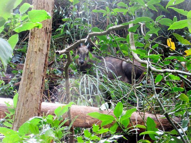 誤觸陷阱、又意外刺傷老翁的日本長鬃山羊。(翻攝自愛知縣新城市)