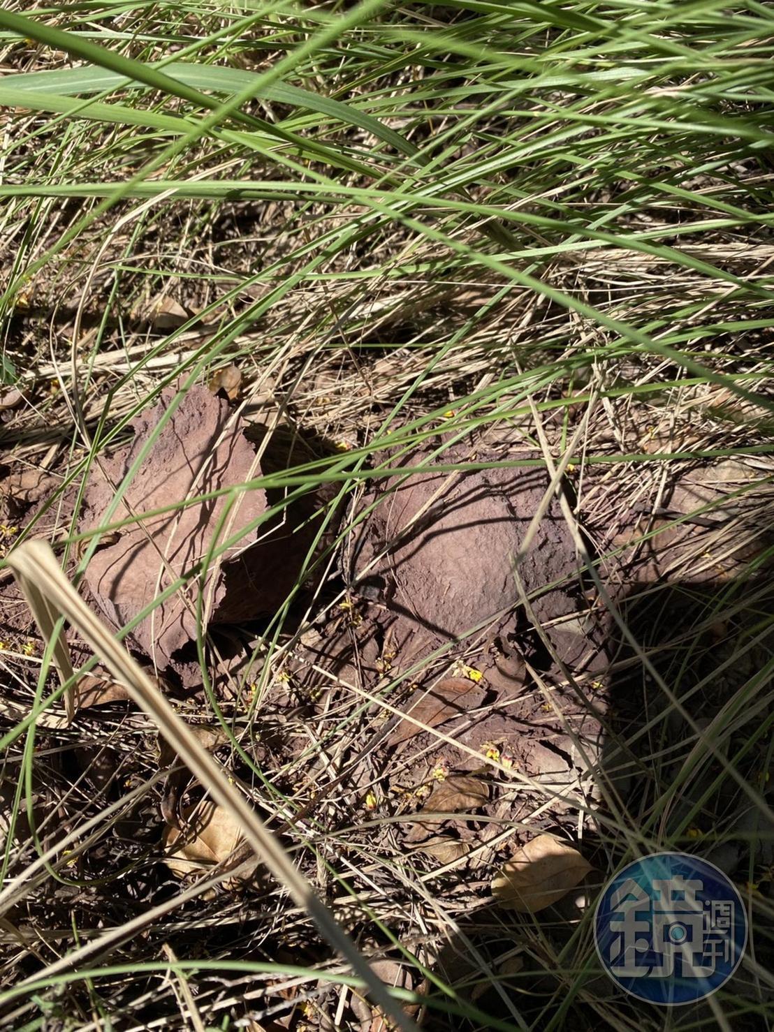 馬勃成熟後會由白轉為紫黑色,且會爆開噴發孢子。(讀者提供)