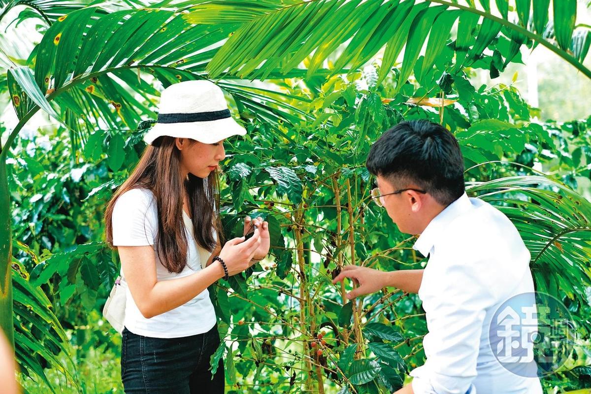 咖啡園導覽可親眼見到咖啡樹與果實的模樣。