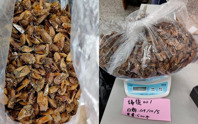 彰化縣政府農業處以每公斤1,000元的價格收購荔枝椿象成蟲。(翻攝自彰化縣政府農業處臉書)