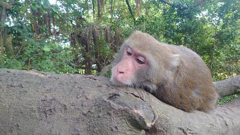 台灣獼猴數量增長快速,族群龐大。(翻攝自台灣獼猴吱吱黨臉書)