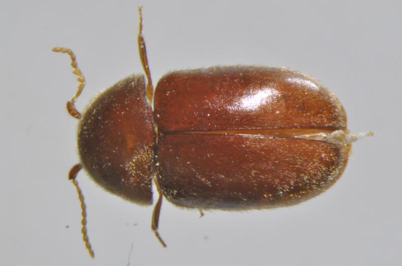 煙甲蟲是一種被認為起源於埃及,目前已遍及世界各地的儲藏物害蟲。(農委會農業試驗所提供)