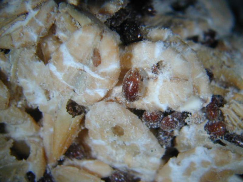煙甲蟲很容易繁殖,往往從幾隻迅速變成千百隻,它危害過的食物有「黴菌孢子」,吃下去有致癌之疑慮。(翻攝自農委會農業試驗所)