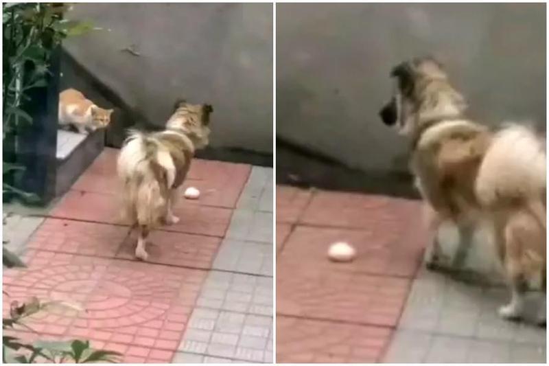 家犬將自己珍藏的肉包送給浪貓吃,讓主人相當感動。(翻攝自澎湃新聞)