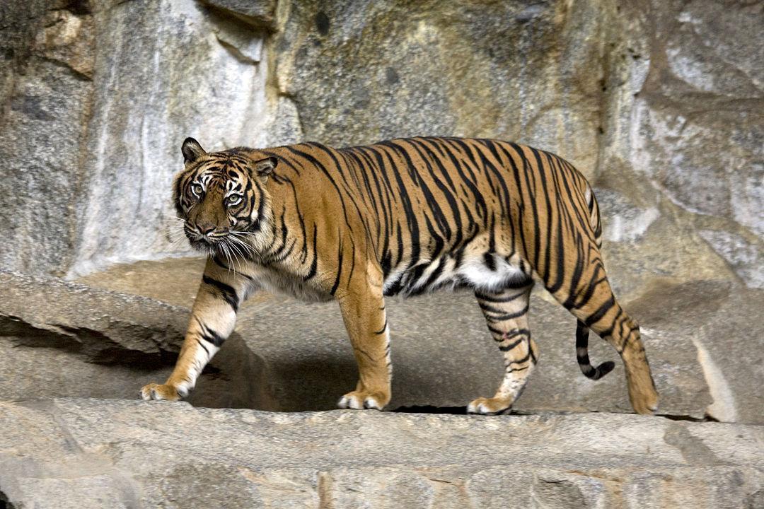 蘇門答臘虎在人類過度開墾下,僅存不到600隻。(維基共享/Captain Herbert)