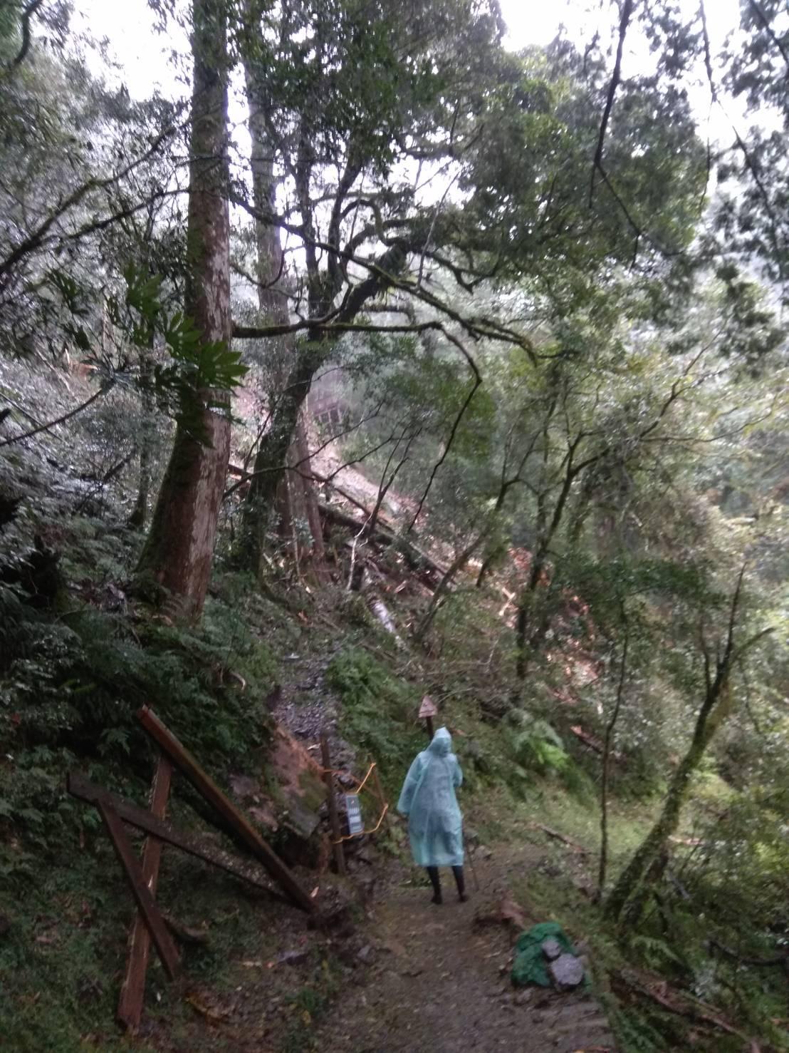 受桃園山區連日豪雨影響,編號23號的千年紅檜巨木倒塌。(翻攝自新竹林區管理處官網)