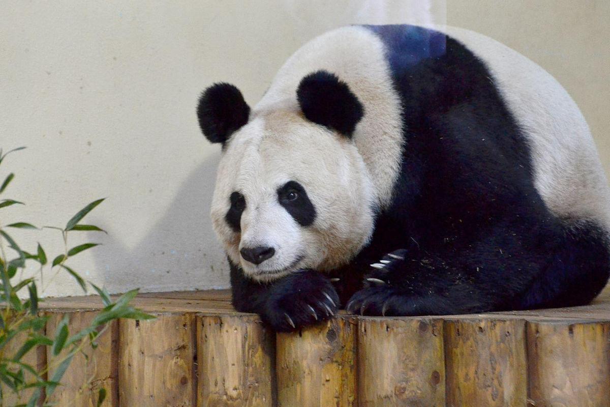 愛丁堡動物園多次嘗試讓「甜甜」懷孕,可惜都失敗。(翻攝維基百科)