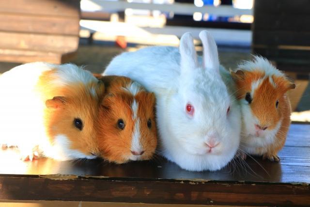 兔子同為高換肉率的嚙齒類,亦常被歐洲人當作補充蛋白質的來源;示意圖。(photo-AC)