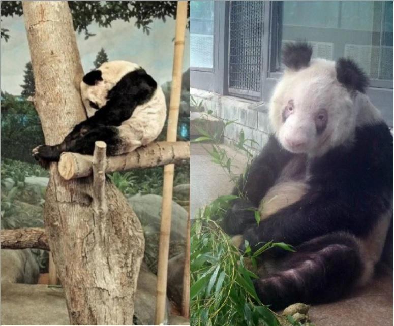 園區內另一隻熊貓「樂樂」,也傳出精神異常。(翻攝自微博)