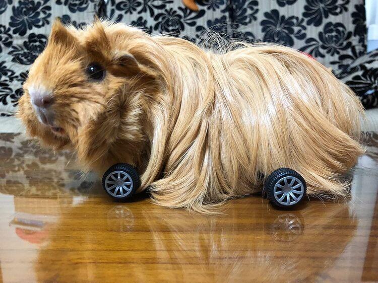 長毛約克夏鼠鼠,這款車感覺特別豪華(翻攝自IG @gi_ppu_mu)