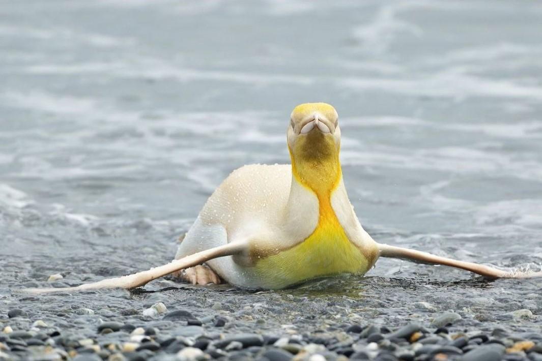 這隻黃色企鵝被猜測患有白化症。(翻攝Yves Adams IG)