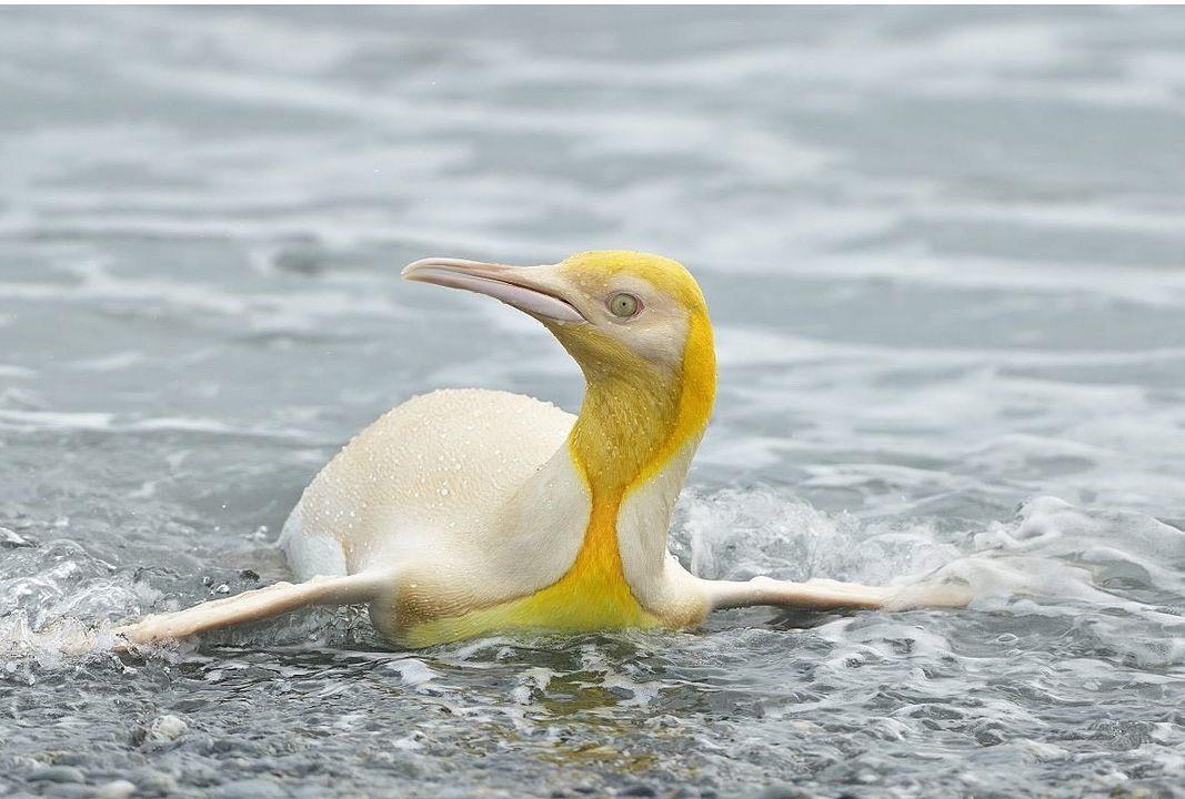 這隻黃色國王企鵝有著黃色和奶油色的羽毛。(翻攝Yves Adams IG)