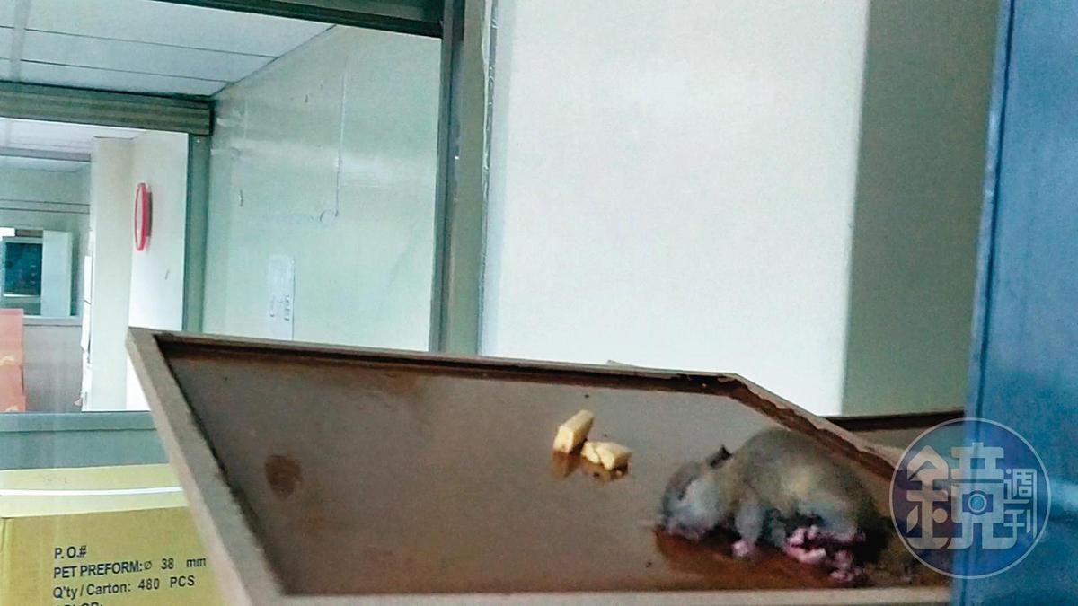 小華提供的蒐證影片中,可見到廠房內被黏鼠板抓住的老鼠,正奄奄一息地掙扎著。(讀者提供)