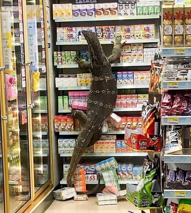 這隻「哥吉拉」爬上貨架上,把食物、飲料盒抓下來。(翻攝推特)
