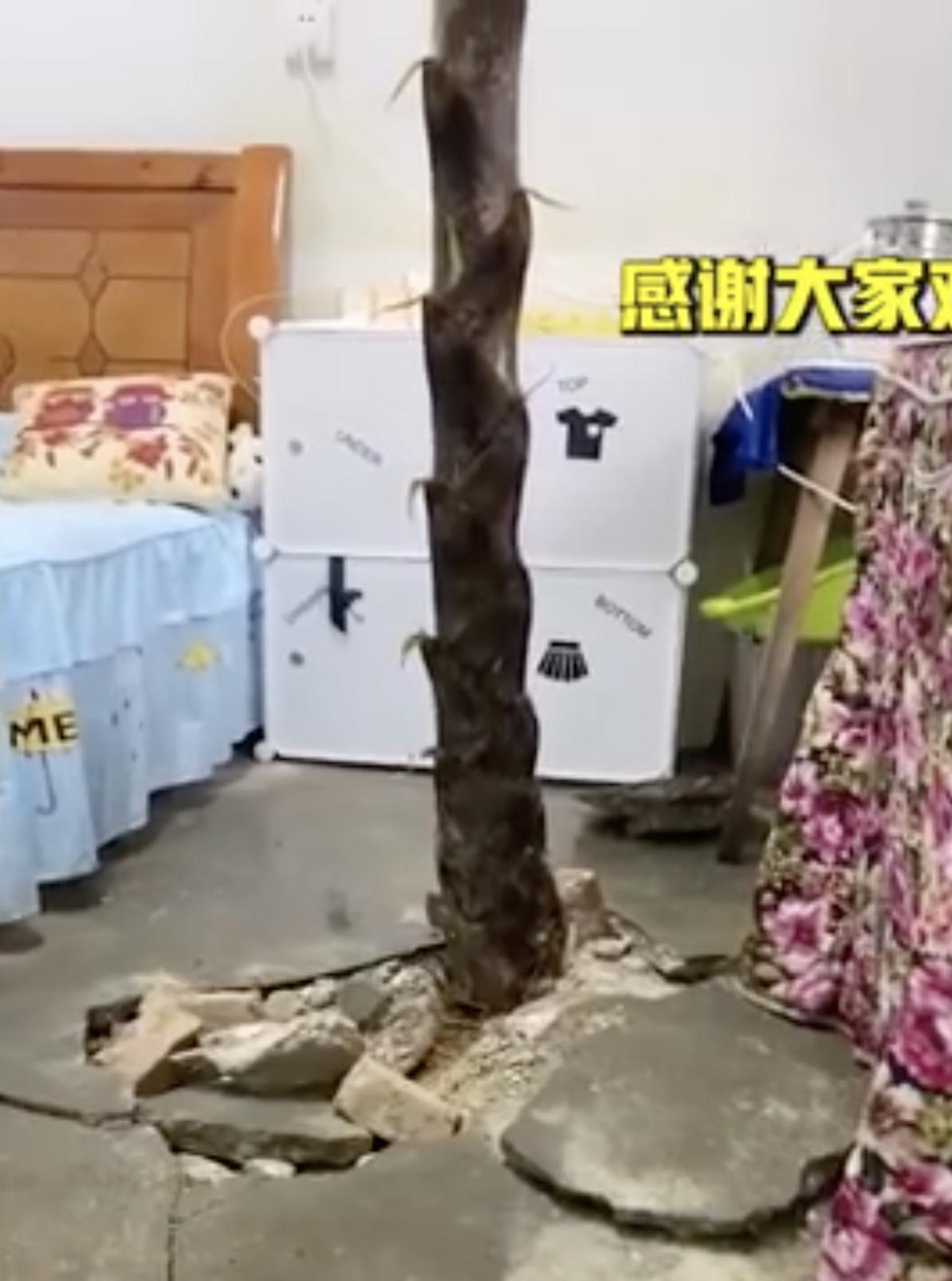 大陸一所小學教師宿舍有根竹筍衝破水泥地冒出。(翻攝自漩渦視頻)