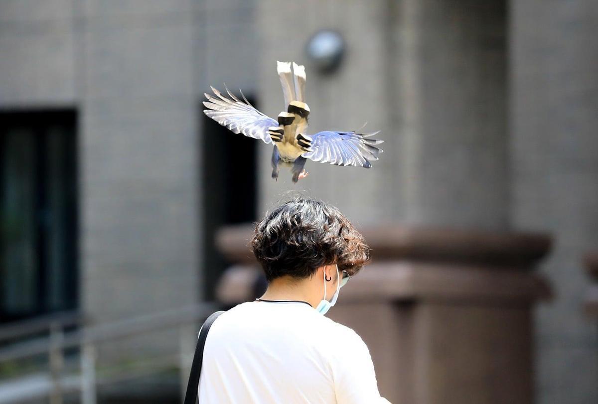台灣國寶藍鵲發現學生闖入「地盤範圍」,趁人不注意時偷襲巴頭。(翻攝自中國文化大學官方臉書)