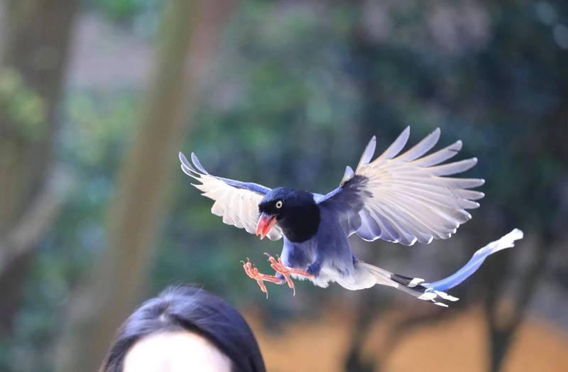 台灣國寶藍鵲在文化大學出沒。(翻攝自中國文化大學官方臉書)
