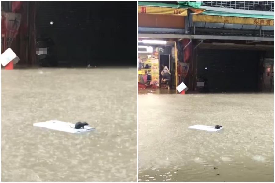 信義區吳興街商圈淹成一條小河,一隻老鼠因為淹水被困在白色板子上四處漂流。(翻攝爆廢公社)