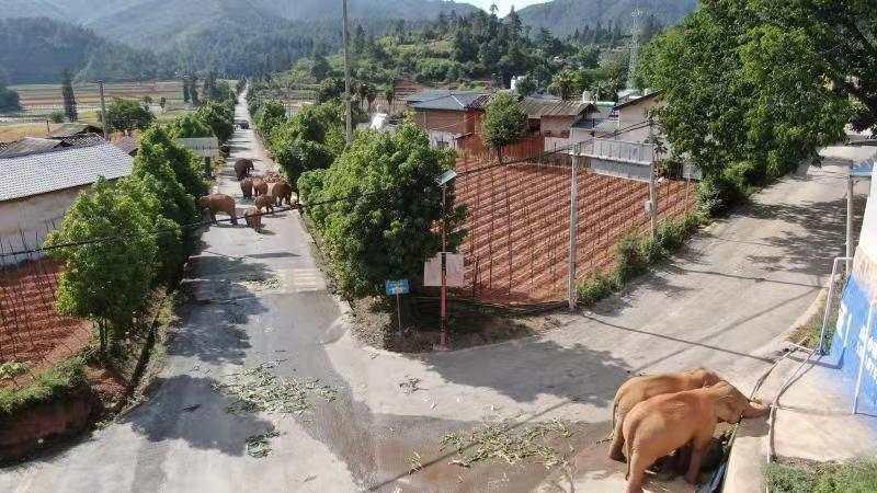 雲南象群離家出走,沒人知道他們要去哪裡。(翻攝微博)