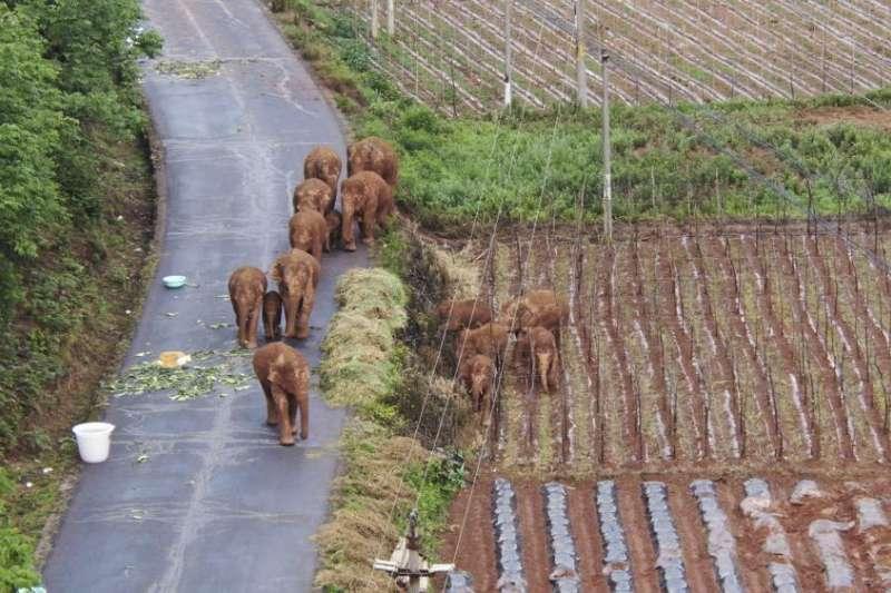 牠們走入農田,一舉一動備受關注。(翻攝微博)