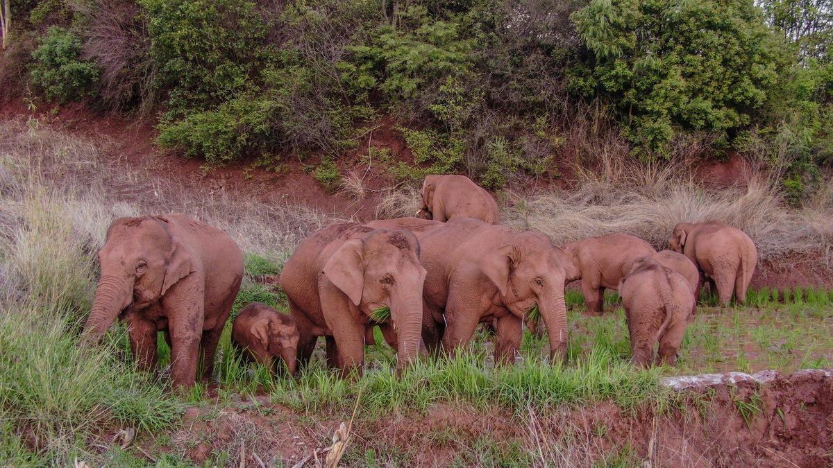 雲南大象群漫無目的向北方移動,動機至今不得而知。(翻攝微博)