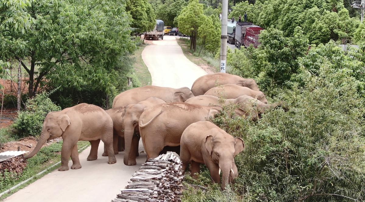 象群走入鄉村、城市,當局24小時追蹤。(翻攝微博)